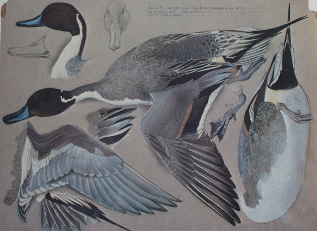 feather_map_of_pintail