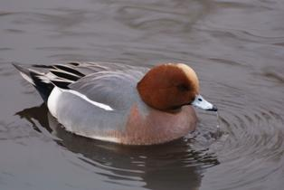 wigeon_male
